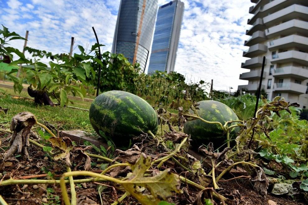 Fragole, menta e girasoli: spuntano gli orti sotto i grattacieli di Milano