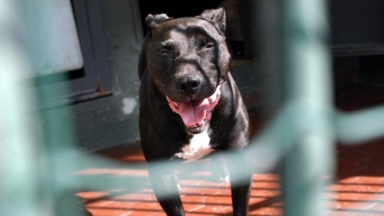Pitbull aggrediscono due bambine a Varese: una è in prognosi riservata