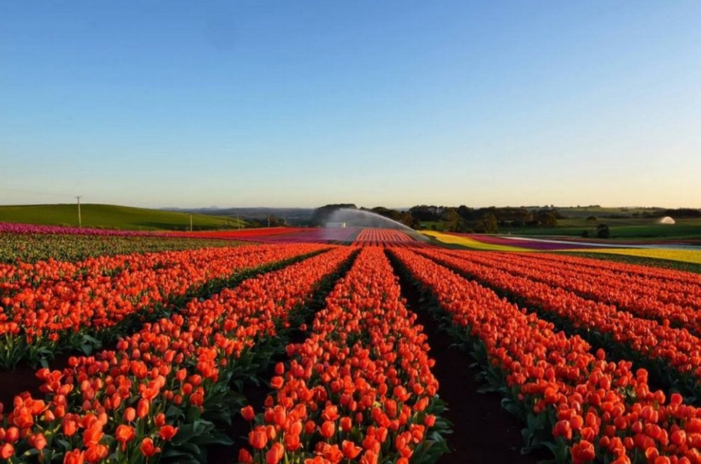 Alle porte di Milano nasce un grande campo con 250mila tulipani: è ...