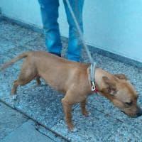 Sorelline aggredite dai pitbull a Varese: la prognosi resta riservata