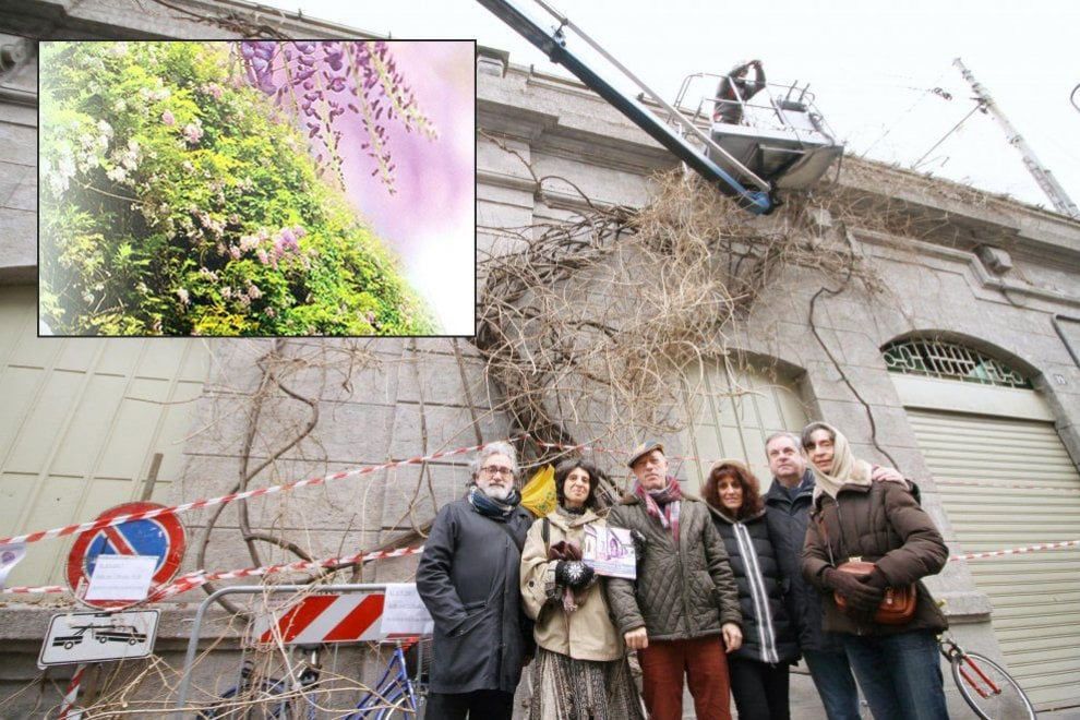 Milano, i residenti adottano il glicine piantato per amore 50 anni fa