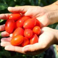 Pomodoro: il frutto della vita