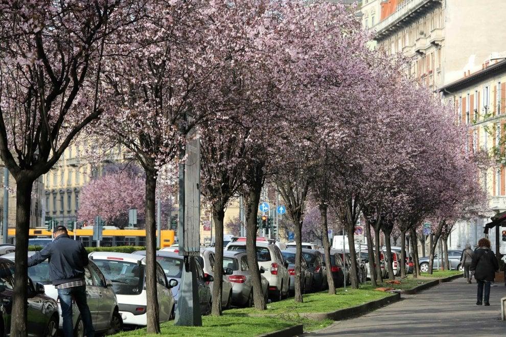 Milano, lungo i viali alberati fiorisce la primavera in anticipo