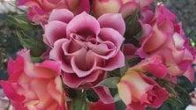 Un fiore che non c'era omaggia la cultura: ecco la nuova Rosa di Brera