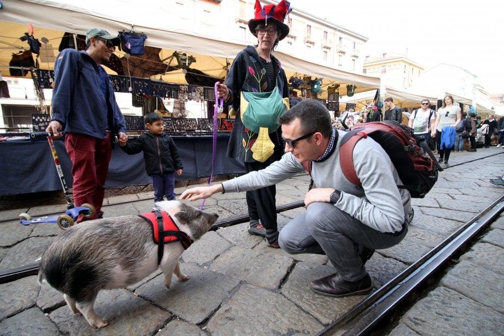 Milano, il maialino al guinzaglio: va a spasso per il mercatino e diventa la star dei Navigli