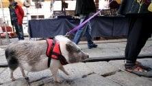 Il maialino al guinzaglio a spasso per il mercatino   diventa la star dei Navigli