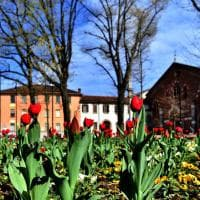 Milano, spunta un tappeto di fiori colorati davanti alla basilica di Sant'Eustorgio