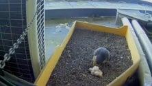 Ma che freddo fa: i tre falchetti nati sul Pirellone protetti dalla mamma