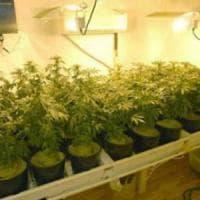 Milano, coltivava 30 piante di cannabis: scatta solo la denuncia