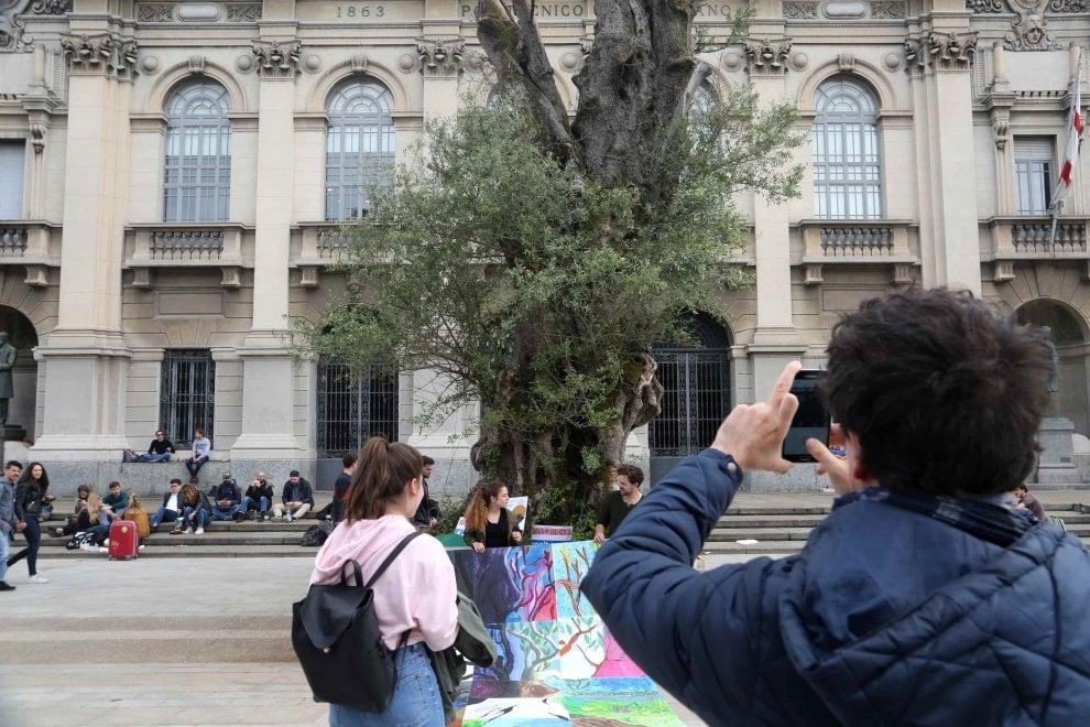 Milano, l'ulivo millenario davanti al Politecnico incanta gli studenti