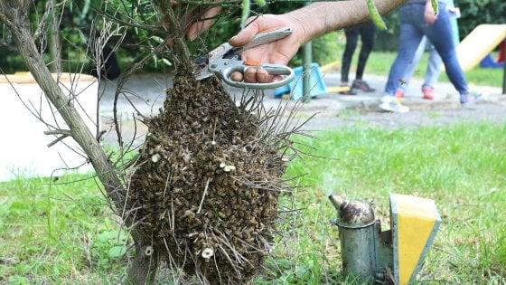 Milano, sciami di api alti due metri e mezzo nei parchi:chiamate di allarme ai vigili del fuoco