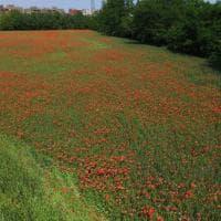 Milano, un campo di papaveri dove non te l'aspetti: prove di resistenza rurale