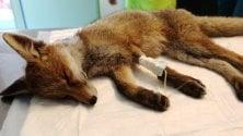 La piccola volpe ha un malore nel parco: una passante le salva la vita