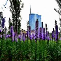 Milano, un'esplosione lilla fra i grattacieli: fiorisce la Biblioteca degli alberi