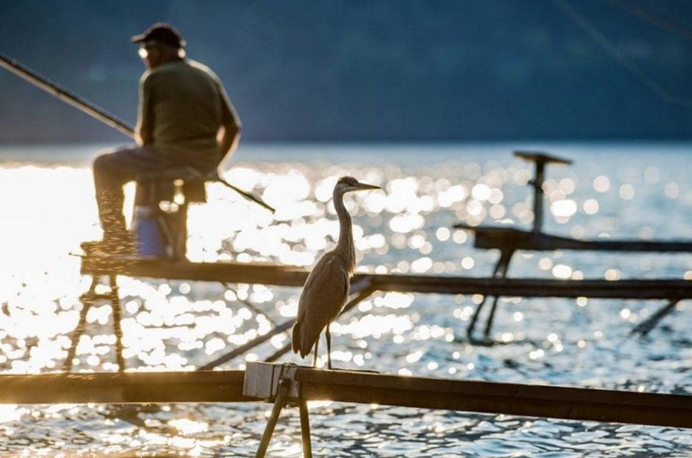 Lago di Como, l'airone cenerino amico dei pescatori