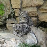 Animali a rischio estinzione, una speranza da Arman e Neko: i piccoli leopardi delle nevi
