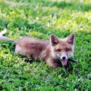 Bergamo, spara a una volpe ma ferisce una donna al ginocchio: denunciato