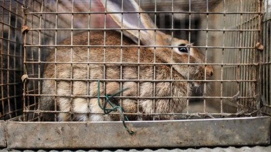 Conigli e papere vive alla lotteria, i carabinieri alla sagra di Sarnico: multata la parrocchia
