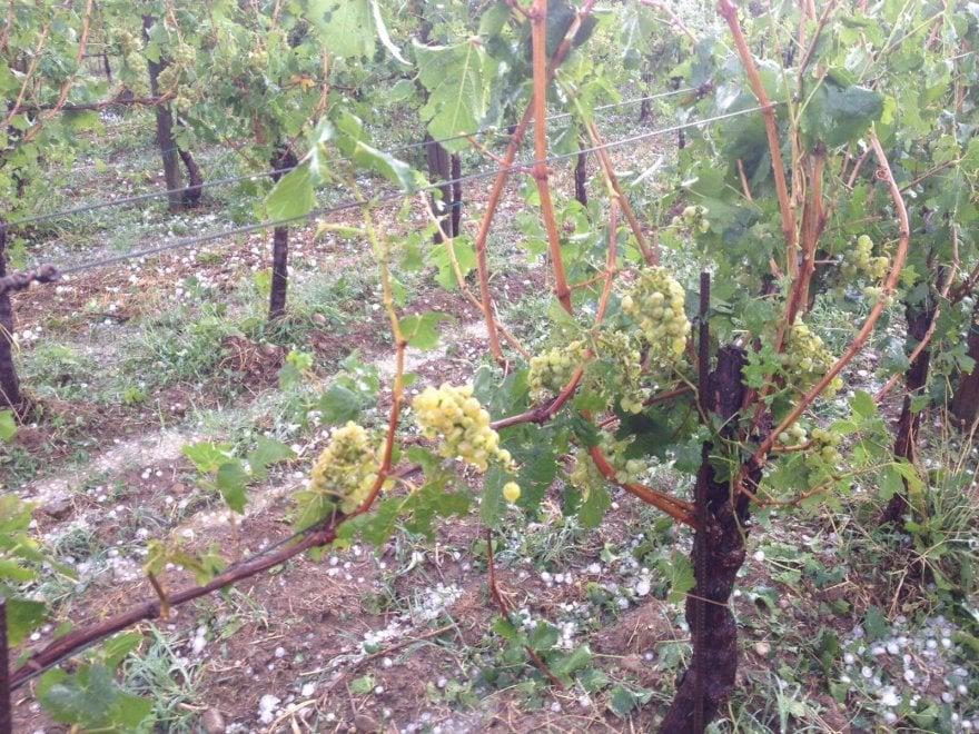 Brescia, tromba d'aria e grandinata in Franciacorta: gli agricoltori fotografano i danni nei vigneti