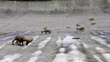 I piccoli stambecchi  a lezione di equilibrio  sulla diga del Barbellino