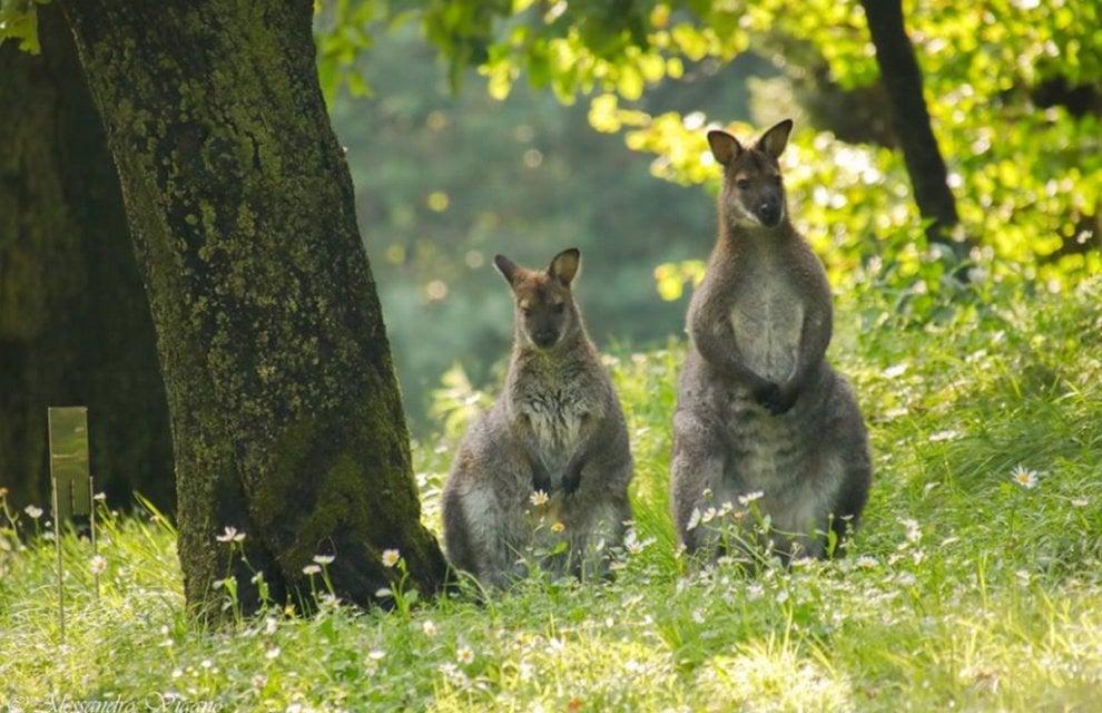 Dall'Australia a Como, i piccoli wallaby convivono con gru e cicogne nell'isola dei Cipressi