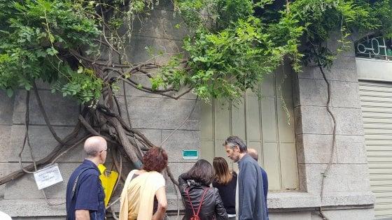 """Milano, il glicine degli innamorati adottato dai cittadini: """"Così facciamo fiorire il quartiere"""""""