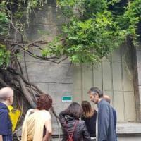 Milano, il glicine degli innamorati adottato dai cittadini: