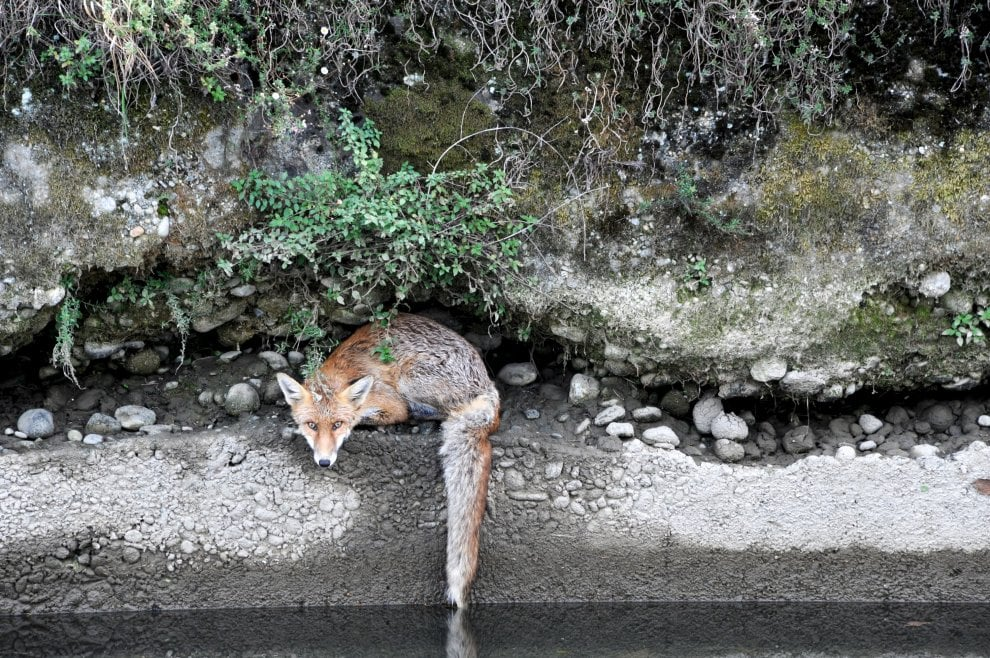Milano, la volpe cade nel Naviglio: la fotosequenza del salvataggio
