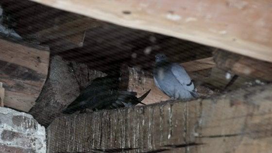 Avvelenamento da tallio forse dovuto ai piccioni, sono due i morti: indagini su possibili altre cause