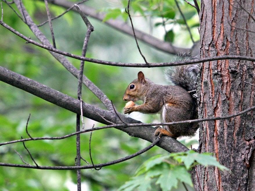 """Gli scoiattoli grigi nei parchi di Milano, allarme del Wwf: """"Fermiamoli o sarà invasione"""""""