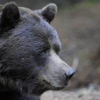 Sondrio, è morto all'età di 28 anni l'orso Orfeo: trovato vicino a un laghetto nell'oasi Aprica