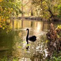 Milano: l'eleganza del cigno nero, signore del parco Lambro