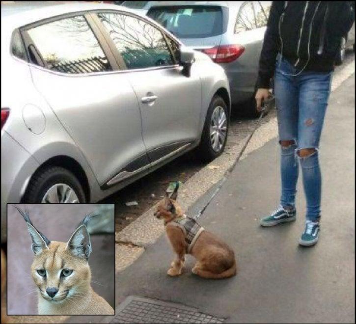 """Un felino selvatico al guinzaglio a Milano, sos del Comune: """"Aiutateci a trovarlo, è pericoloso"""""""