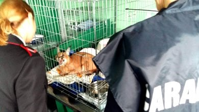 Con un felino selvatico al guinzaglio  in centro: denunciata la padrona    foto