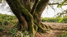 """""""Quel ciliegio è un  monumento"""", l'albero di  Besana Brianza diventa  un bene del ministero"""