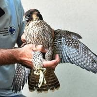 Dal falco sul Pirellone alla volpe nel Naviglio: nel 2017 l'Enpa ha salvato