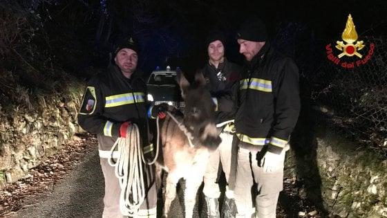 Asino fugge e vaga sulla strada provinciale a Luino, salvato da vigili del fuoco