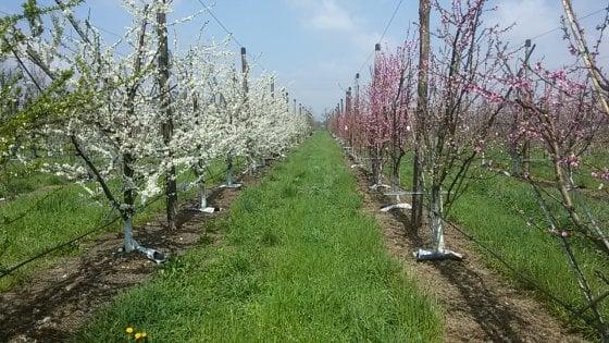 Dopo i tulipani anche la frutta, a Milano nasce il campo da 2,5 ettari per raccogliere mele e susine dall'albero
