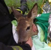 Cucciolo di capriolo cade nel Naviglio: il salvataggio dei pompieri