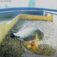 Nasce un falco pellegrino sul Pirellone: il momento in cui l'uovo si schiude