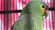 """Chi l'ha visto? Partito    il """"tam-tam"""" per il pappagallino smarrito"""