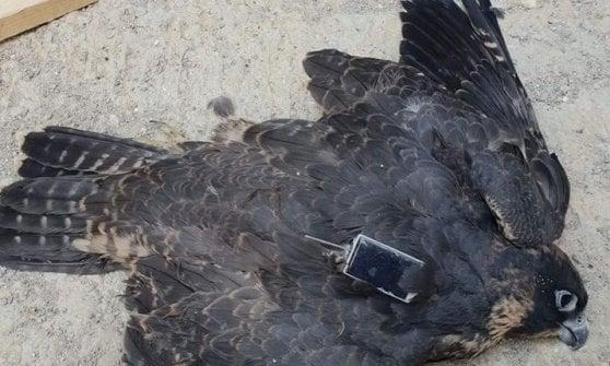 Milano: morto uno dei falchetti pellegrini del Pirellone