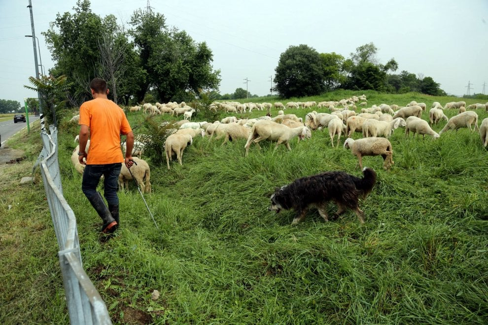 Pascolo d'altri tempi alla periferia di Milano: 1000 pecore dalle valli bergamasche in città