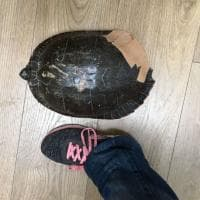La tartaruga incerottata, così i volontari salvano l'esemplare lanciato dal finestrino in Brianza