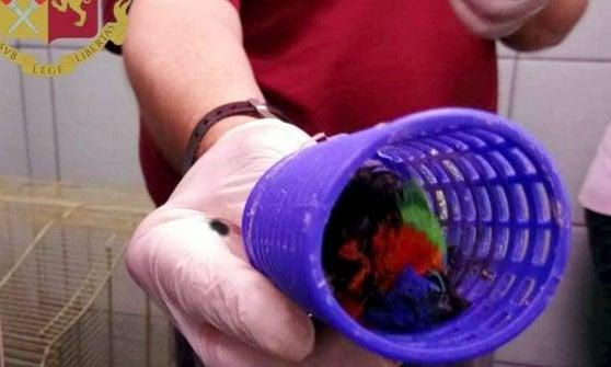 Trovati a Malpensa 69 uccelli rari nella valigia dal Brasile: ne sopravvivono solo nove