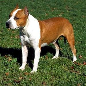 Milano, mozzarono le orecchie al cane per fargli vincere un concorso di bellezza: a processo