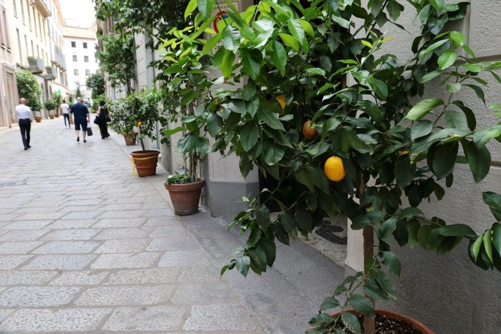 Milano come Sorrento, spuntano le piante di limoni in via della Spiga