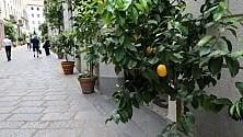 Milano come Sorrento,   in via della Spiga spuntano le piante di limoni
