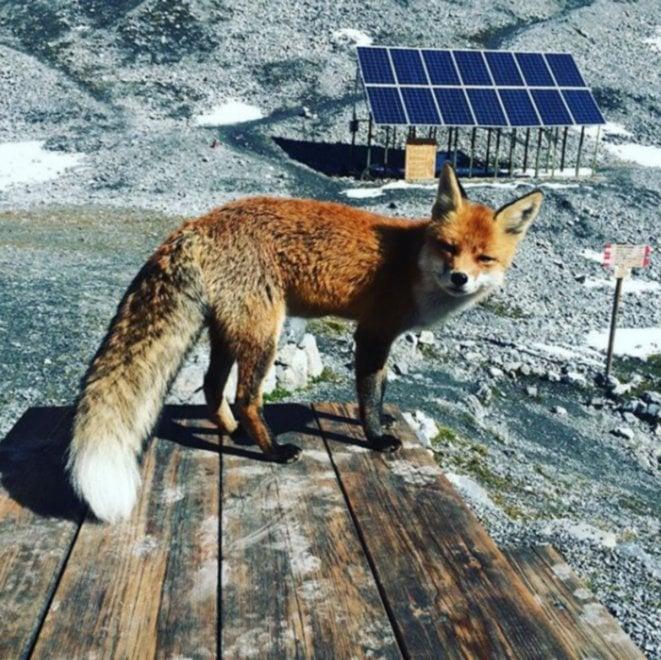 """Sondrio, 10 anni di """"amicizia"""" con la volpe Foxi: il rifugio alpino le dedica un album amarcord"""
