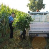 Milano, piantagione di marijuana nascosta nel campo di mais: l'elicottero scopre il